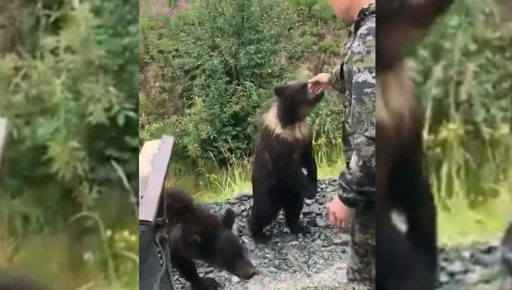 Голодный медвежонок напал на решившего с ним познакомиться рыбака