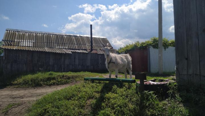 В поселке под Сызранью домашняя коза придумала новые ПДД