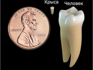 Сравнение человеческого зуба с крысиным и размерами монеты