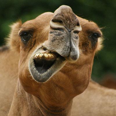 Верблюд откусил руку мужчине в Щелковском районе Подмосковья