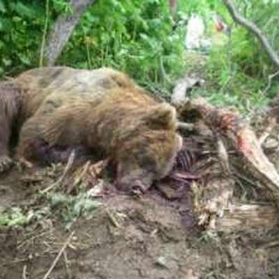 Экологи предупредили жителей Московской области о незаснувших медведях