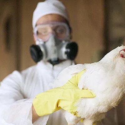 Новые случаи заболевания птичьим гриппом среди птиц выявили в Британии