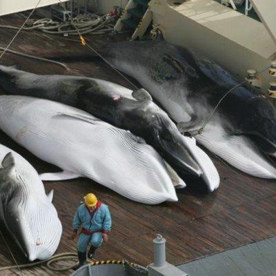 В Японии убили около 200 китов