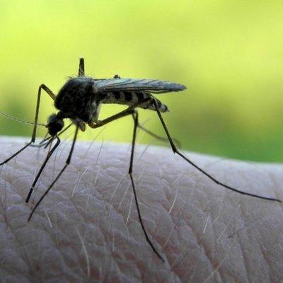 Ученые выпустили 5 тысяч генетически модифицированных комаров