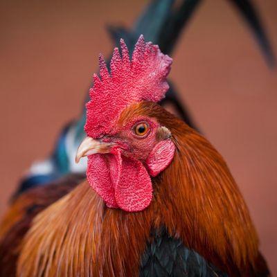 Во Франции оштрафован хозяин очередного громко кукарекающего петуха