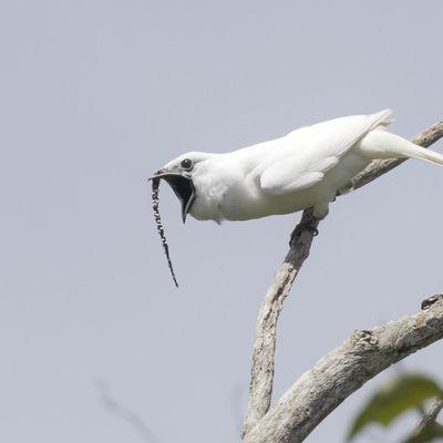Учёные определили какая птица издает самое громкое пение в мире