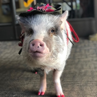 Аэропорт Сан-Франциско взял на работу свинью-терапевта
