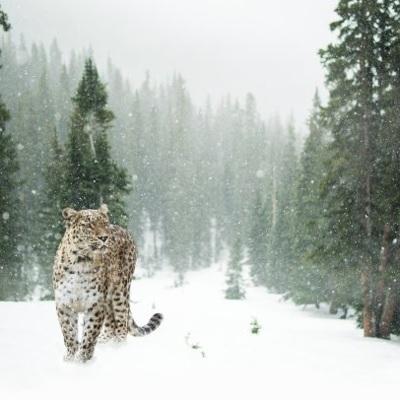 Пользователи соцсетей выбрали имя леопарду изнацпарка в Приморье