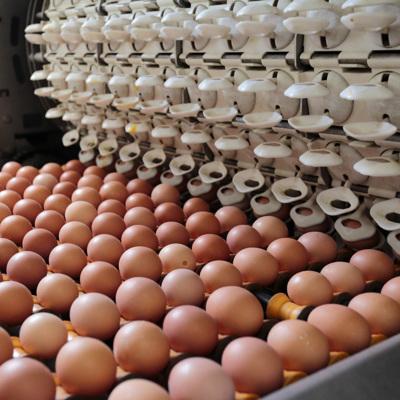 Российские птицефабрики столкнулись с нехваткой инкубационных яиц