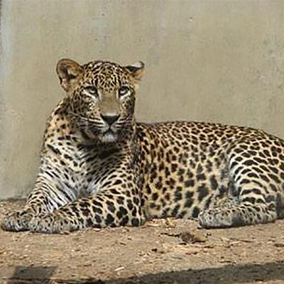Любовные игры дальневосточных леопардов впервые попали в поле зрения камер