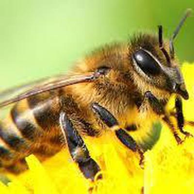 Гибель пчел зафиксировали в 20 регионах России