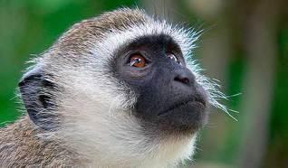 источник: http://givotnie.com/primaty-2/martyshki/
