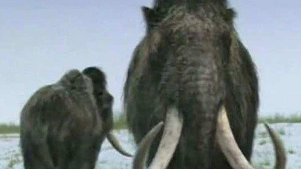 Клонирование мамонта становится реальным