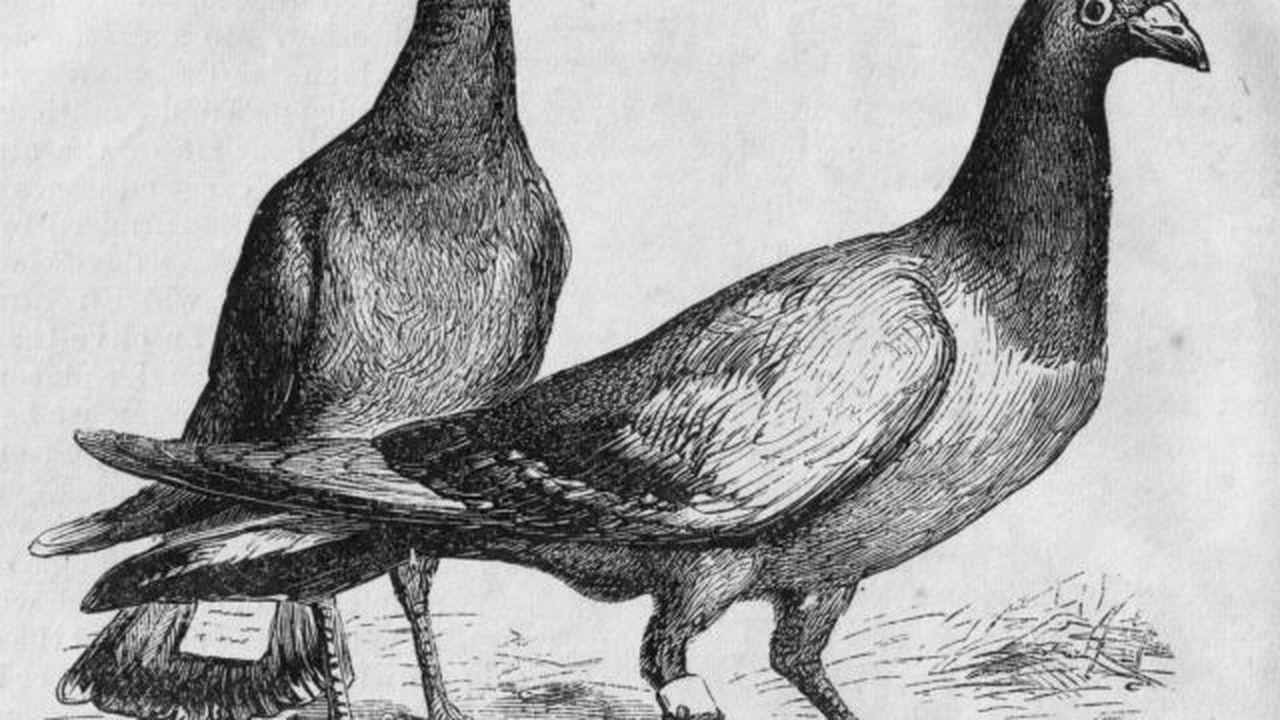 Орнитологи выяснили, как почтовые голуби ориентируются в пространстве
