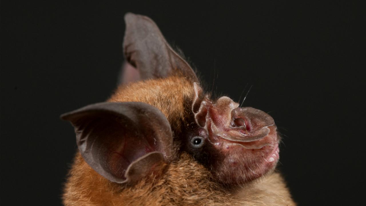 Китайские летучие мыши могут стать причиной эпидемии атипичной пневмонии