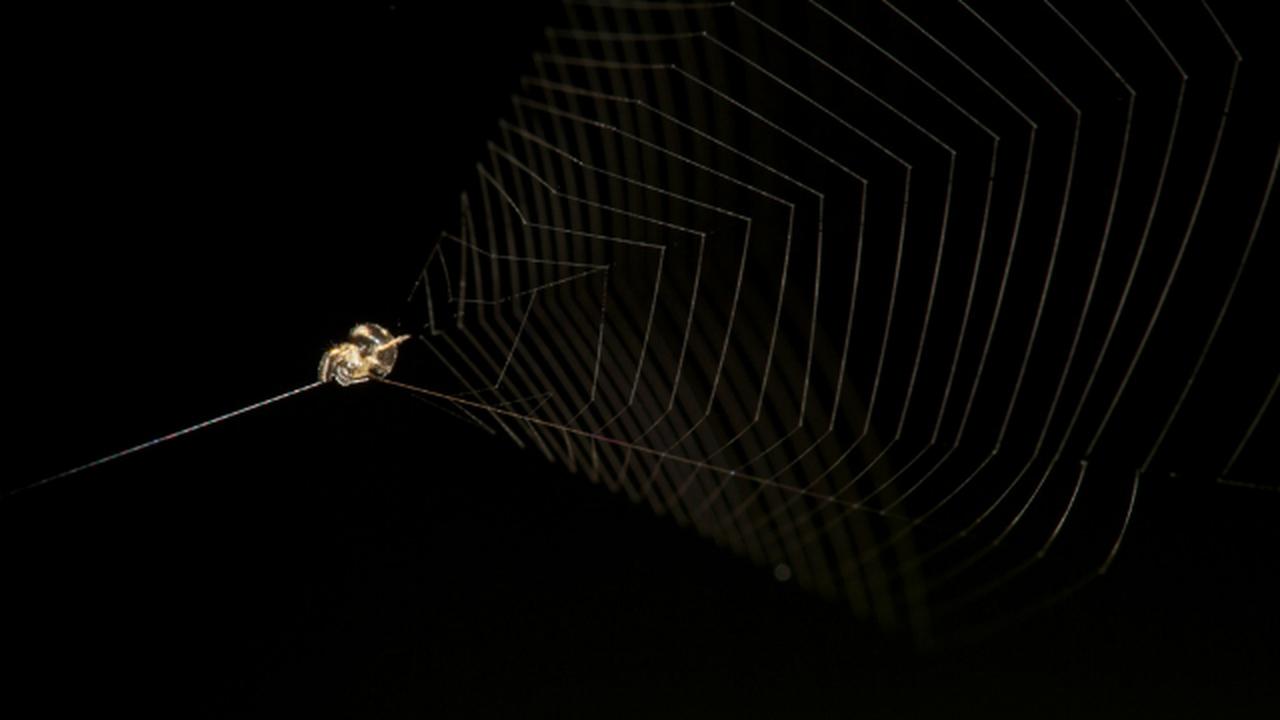 Необычный паук использует свою паутину вместо рогатки