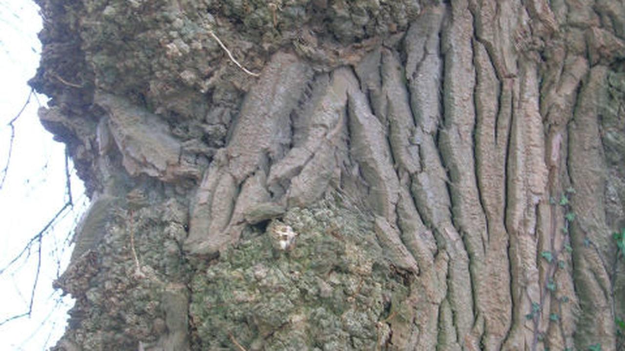 Трансгенные тополя могут стать альтернативным источником биотоплива