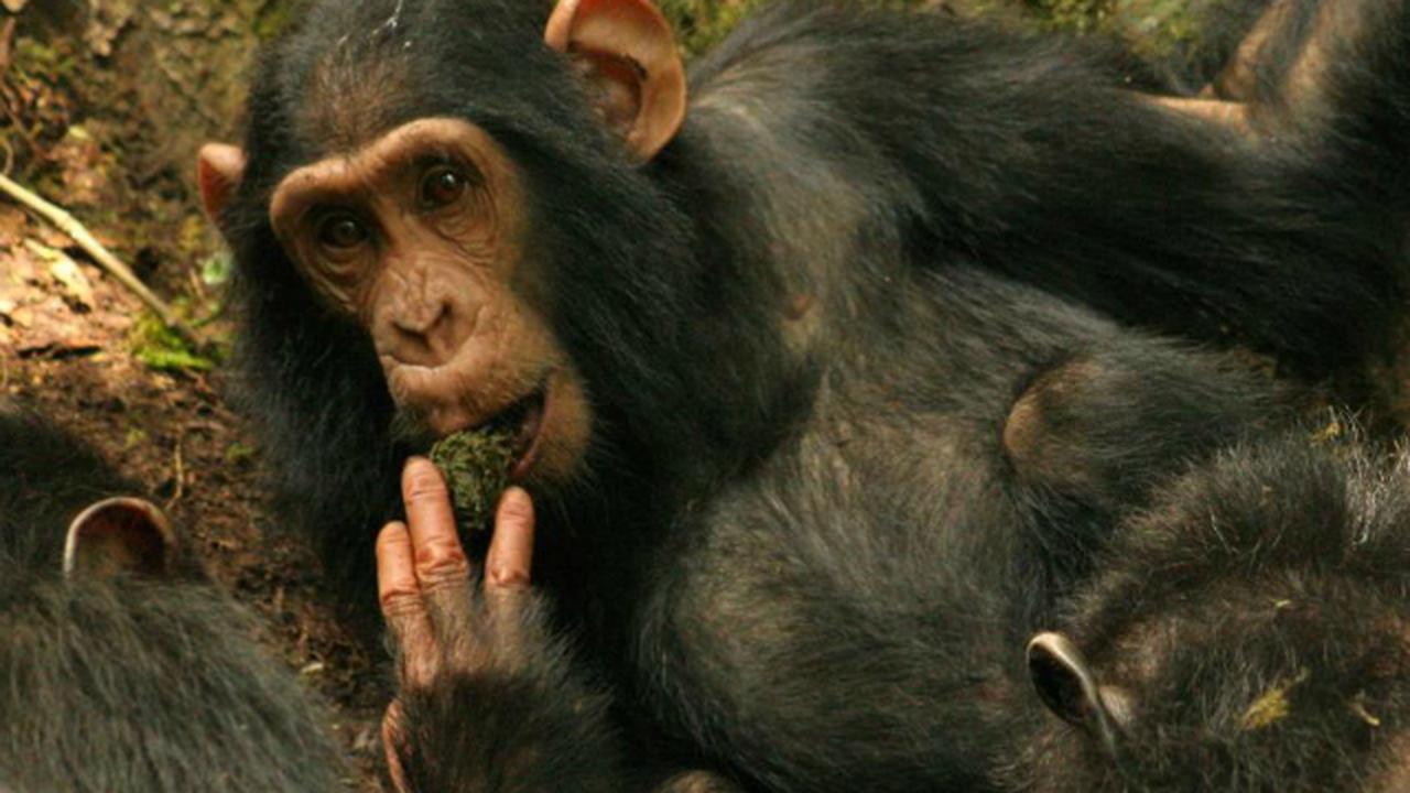 За боли в спине человека в ответе обезьяны и прямохождение