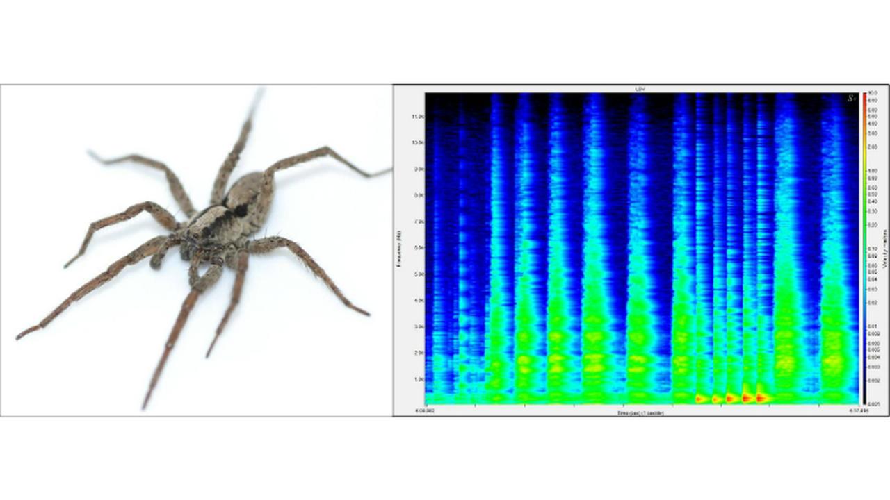 Музыкальные пауки мурлычут, как кошки, чтобы привлечь прекрасный пол