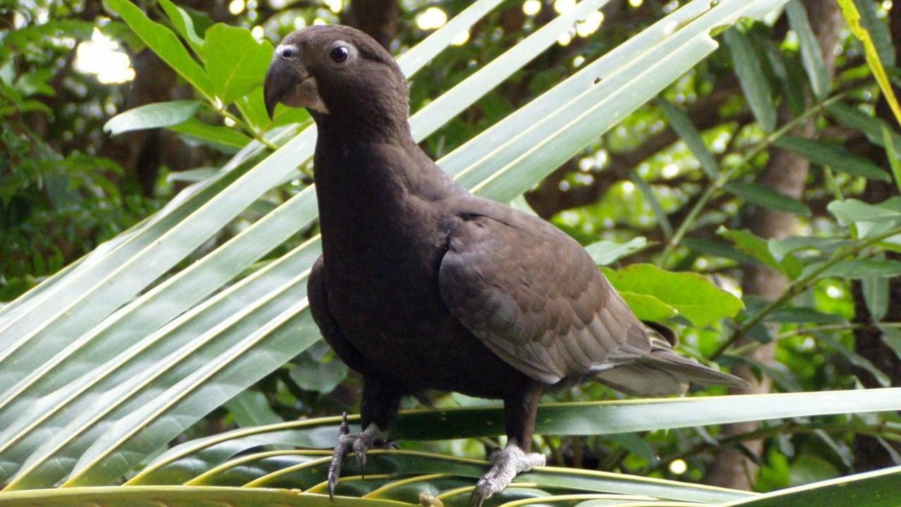 Попугаи оказались единственными животными, использующими шлифовальный инструмент