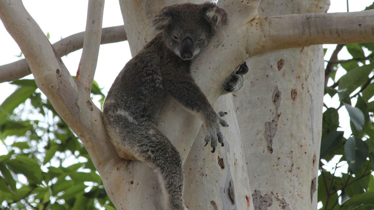 Умные коалы выучили новые австралийские правила перехода через дорогу