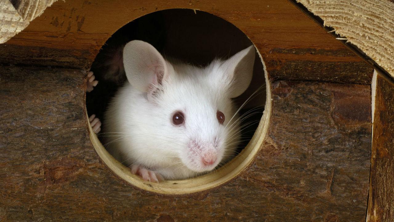 Новый метод контроля: исследователи использовали лазер для управления поведением мышей
