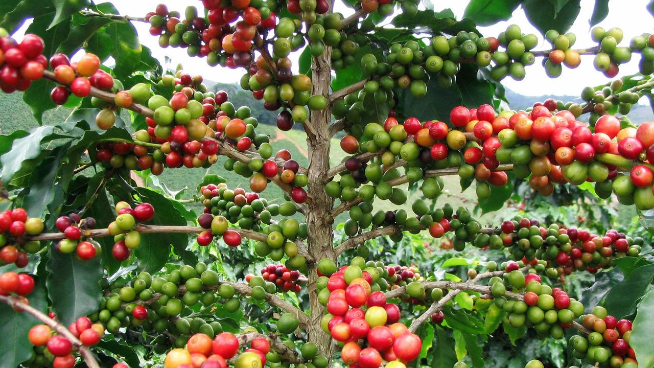 Полный геном арабики поможет сохранить любимые во всём мире сорта кофе