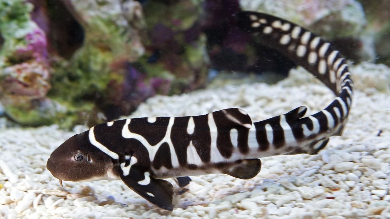 Самка акулы впервые переключилась на размножение без участия самца