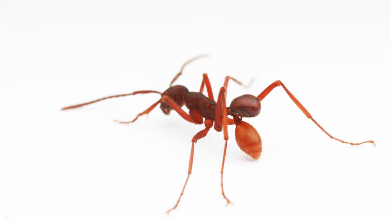 """Открыт новый вид жуков, путешествующих на """"муравьином такси"""""""