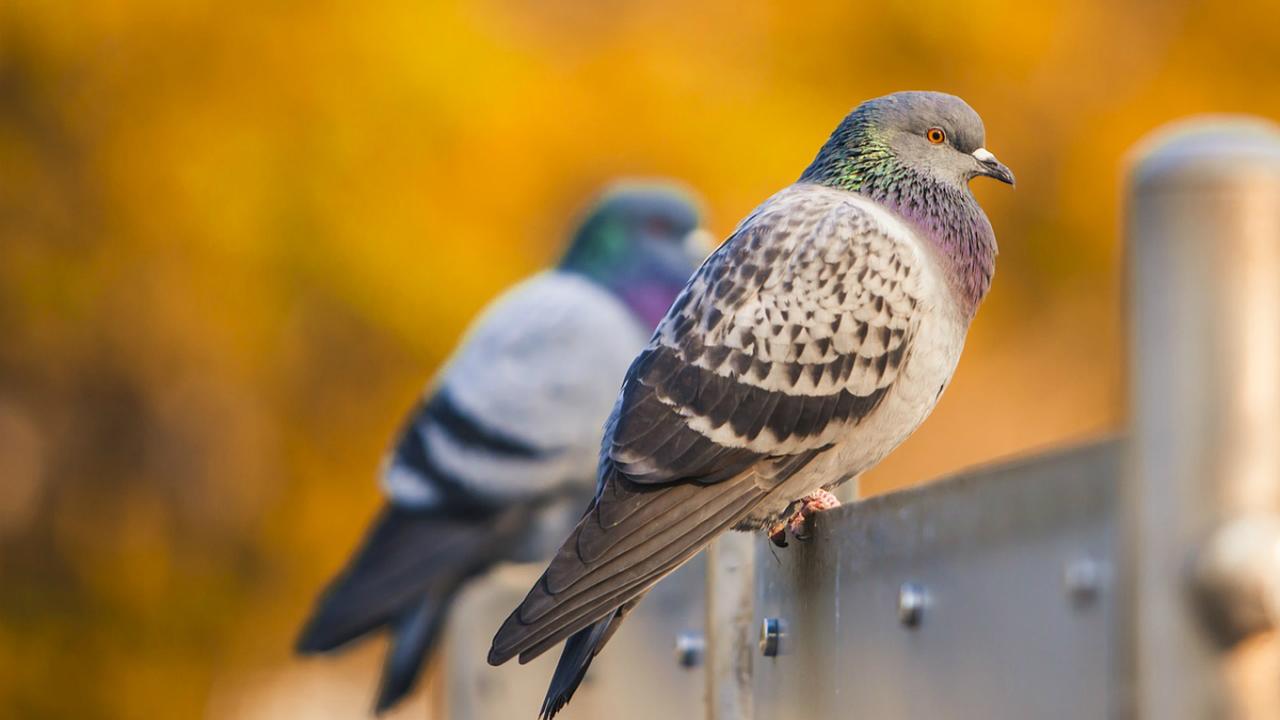 Почтовые голуби, как и люди, передают знания и опыт по наследству