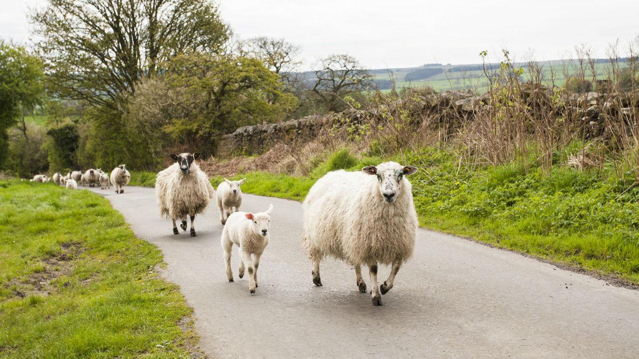 Искусственный интеллект оперативно определит заболевшую овцу в стаде