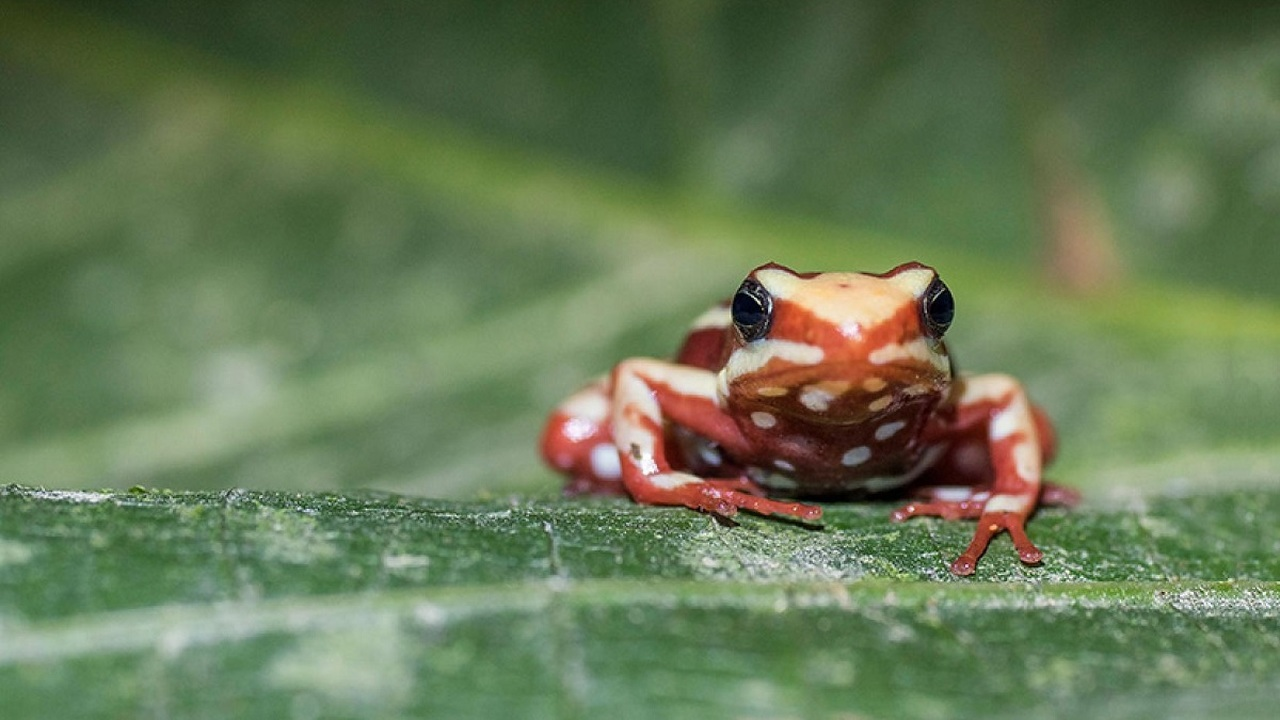 Ядовитые лягушки помогут создать новые обезболивающие препараты