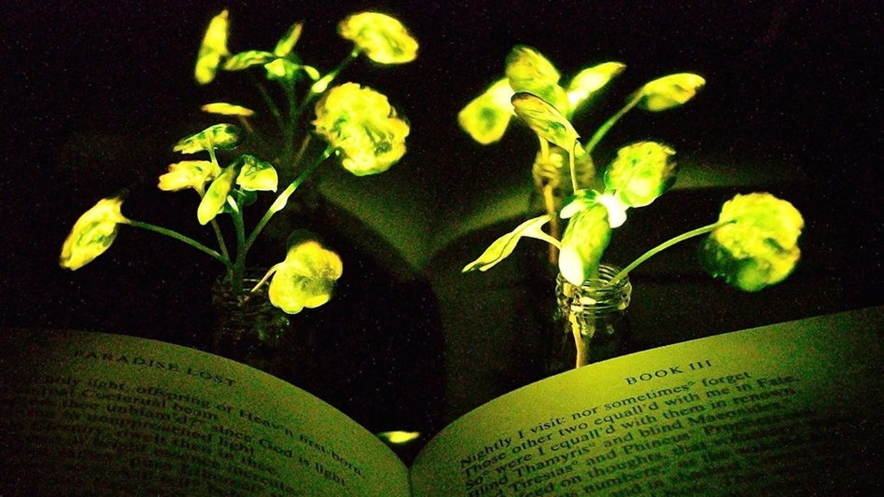 Светлячки помогли создать биолюминесцентные растения, которые заменят светильники и даже фонари