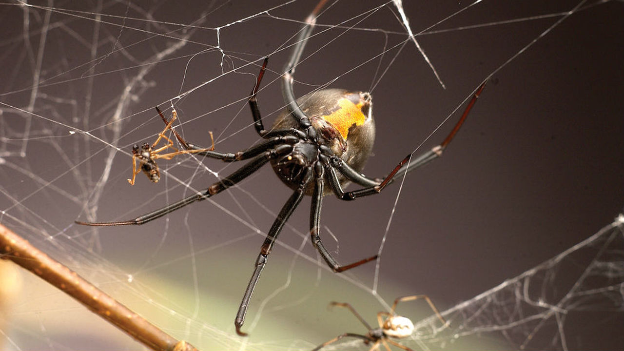 Самцы пауков научились бороться с самками, предпочитающими пожирать их во время спаривания