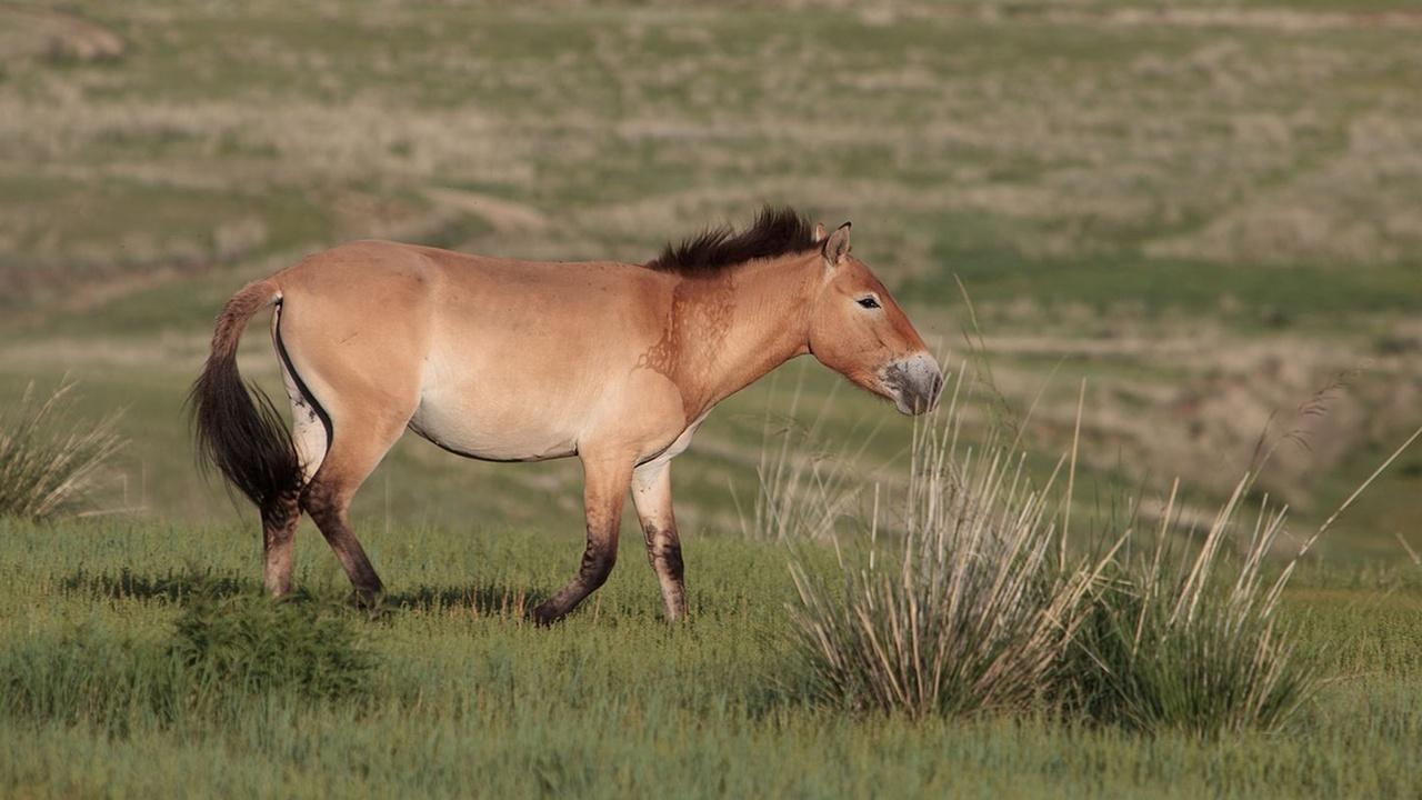 Лошадь Пржевальского лишили звания последнего дикого скакуна и предка современных лошадей