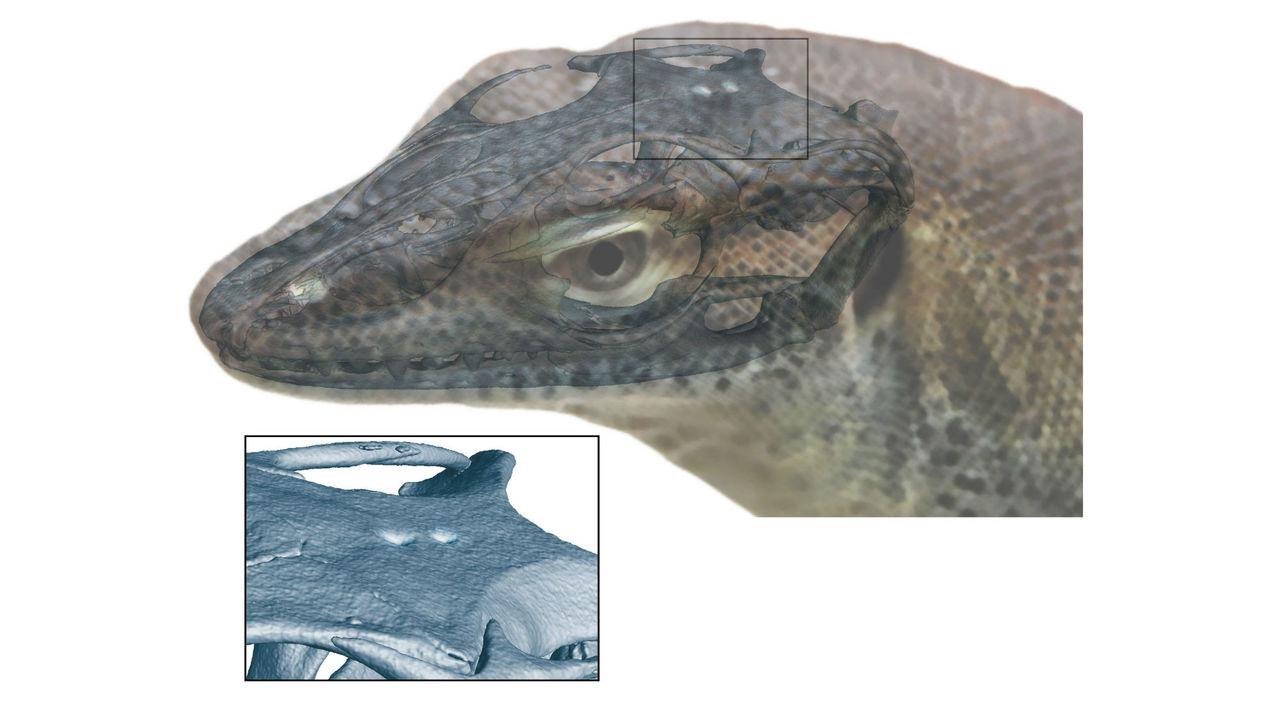 У вымершего варана обнаружен и третий, и четвёртый глаз