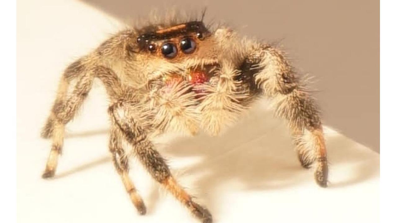 Дрессированный паук прыгает по команде и помогает в разработке новых роботов