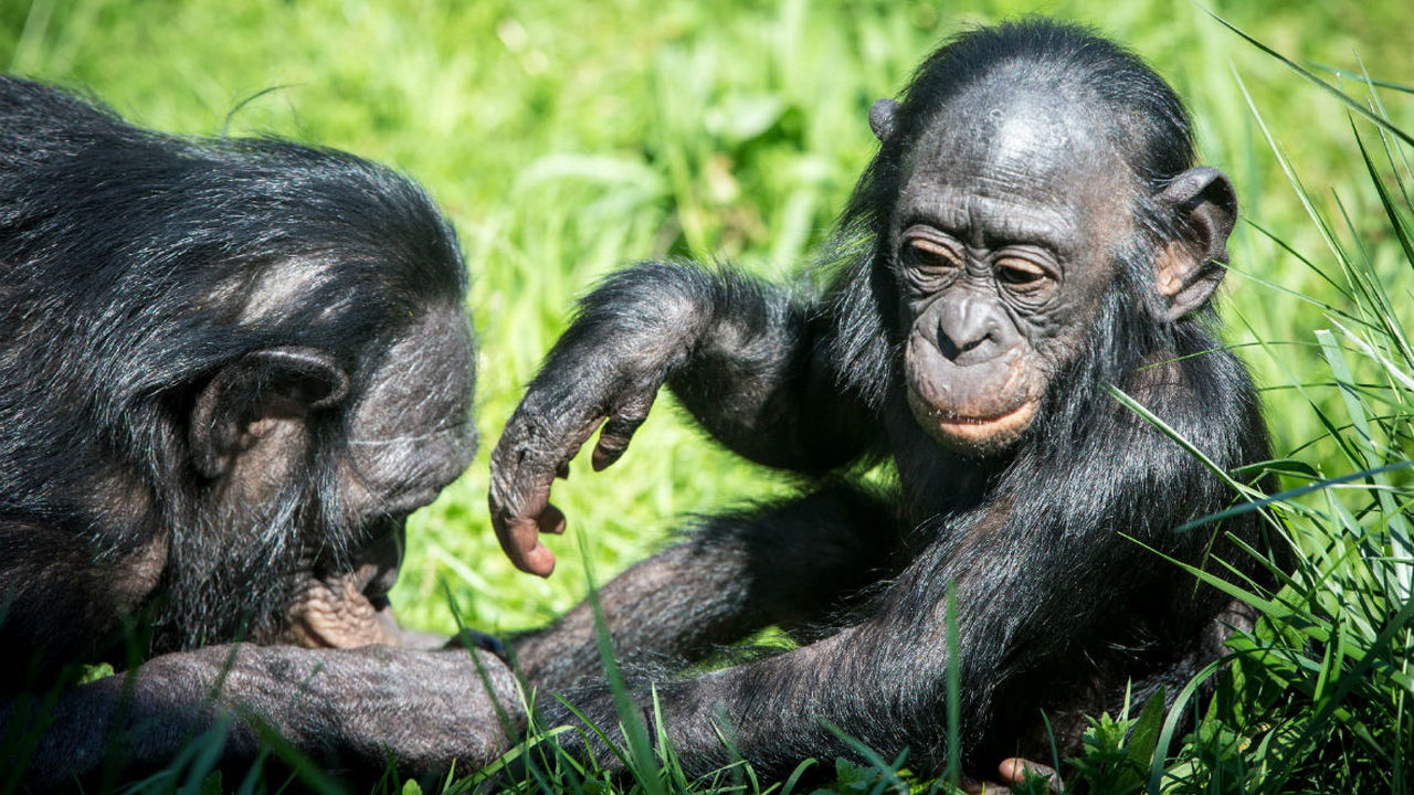 Биологи наблюдали акушерство у обезьян бонобо
