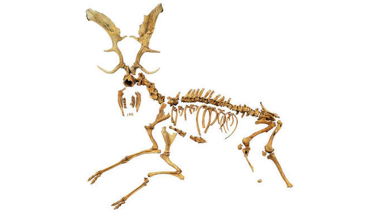 Останки оленя возрастом 120 тысяч лет рассказали, как охотились неандертальцы