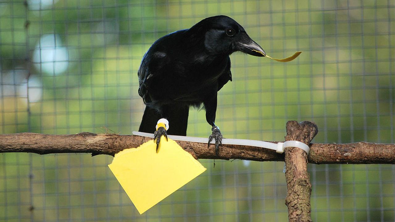 Вороны могут по памяти воссоздать предмет, особенно ради угощения
