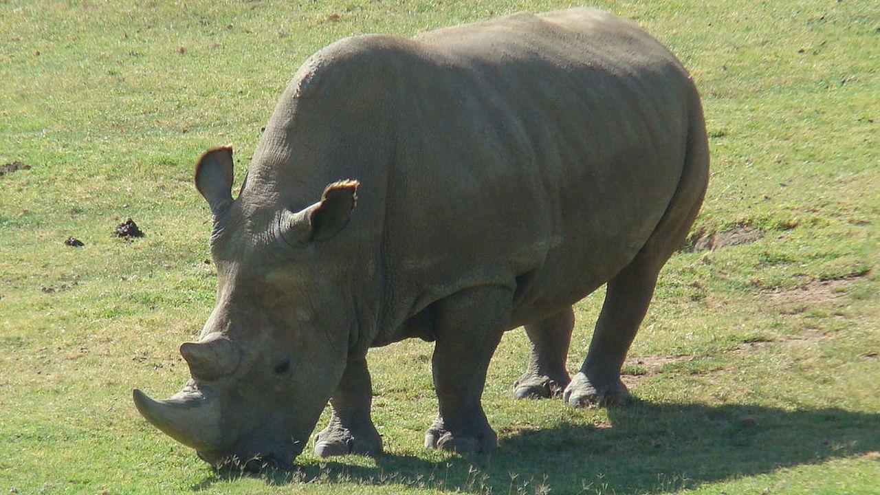 Спасти носорога: получены эмбрионы самого редкого млекопитающего на Земле
