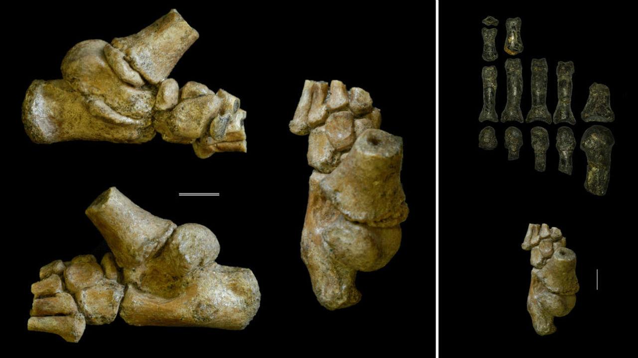 Стопа двухлетней девочки-австралопитека рассказала, как жили и ходили наши предки 3,32 миллиона лет назад