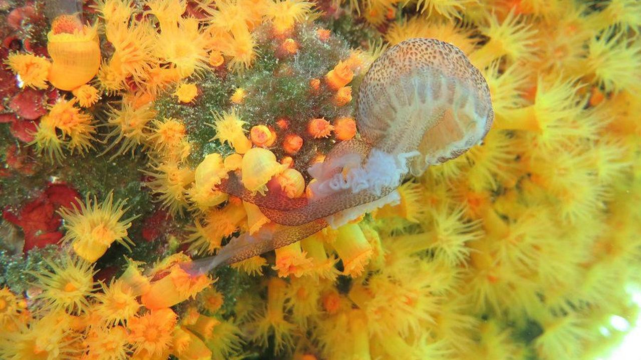"""Коралловые """"банды"""" ловят и пожирают опасных медуз"""