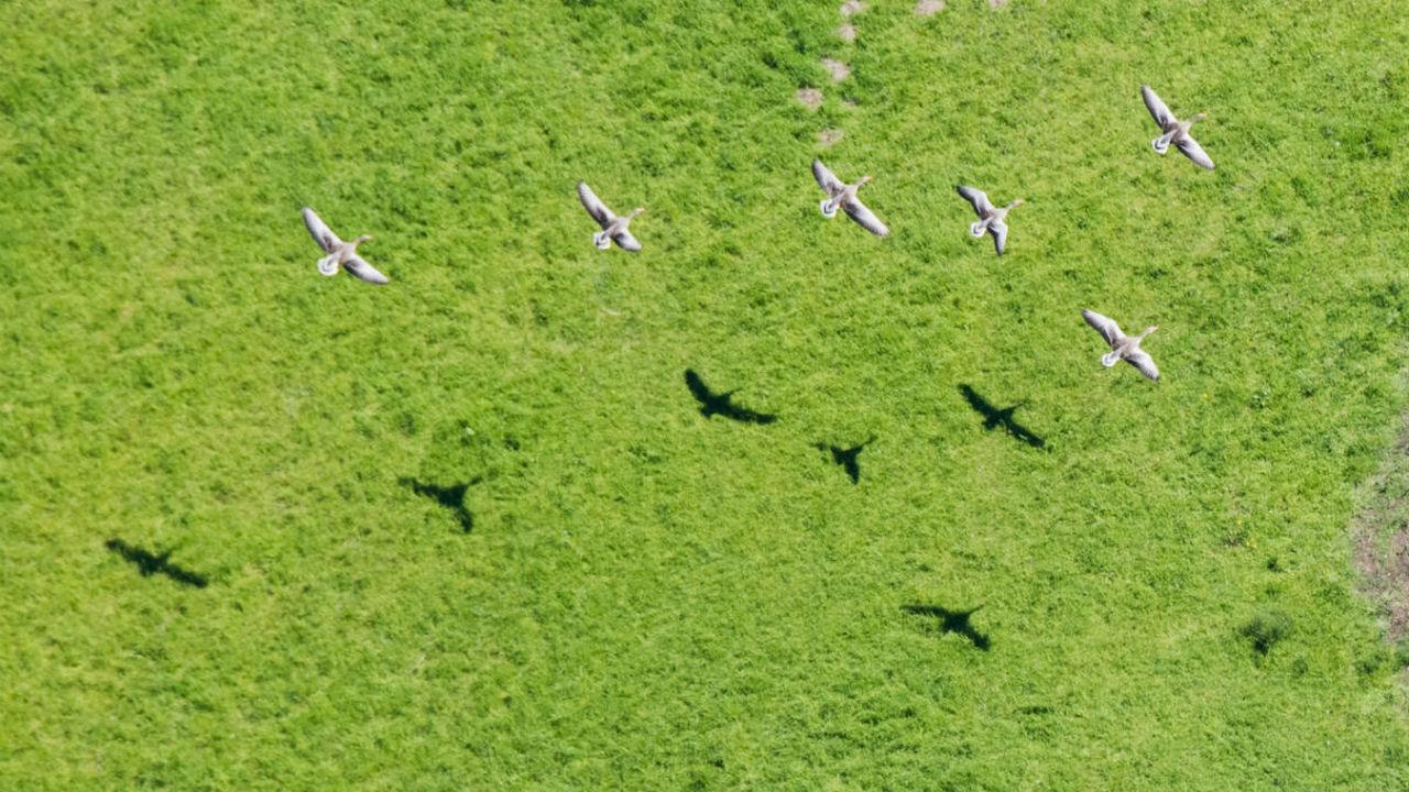 Новый беспилотник уводит стаи птиц от аэропорта