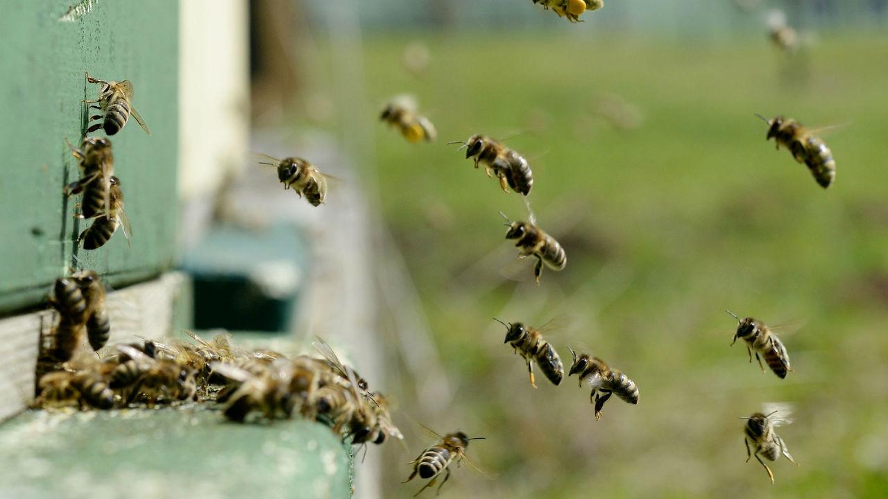 Впервые обнаружена пчела без матери, но сразу с двумя отцами
