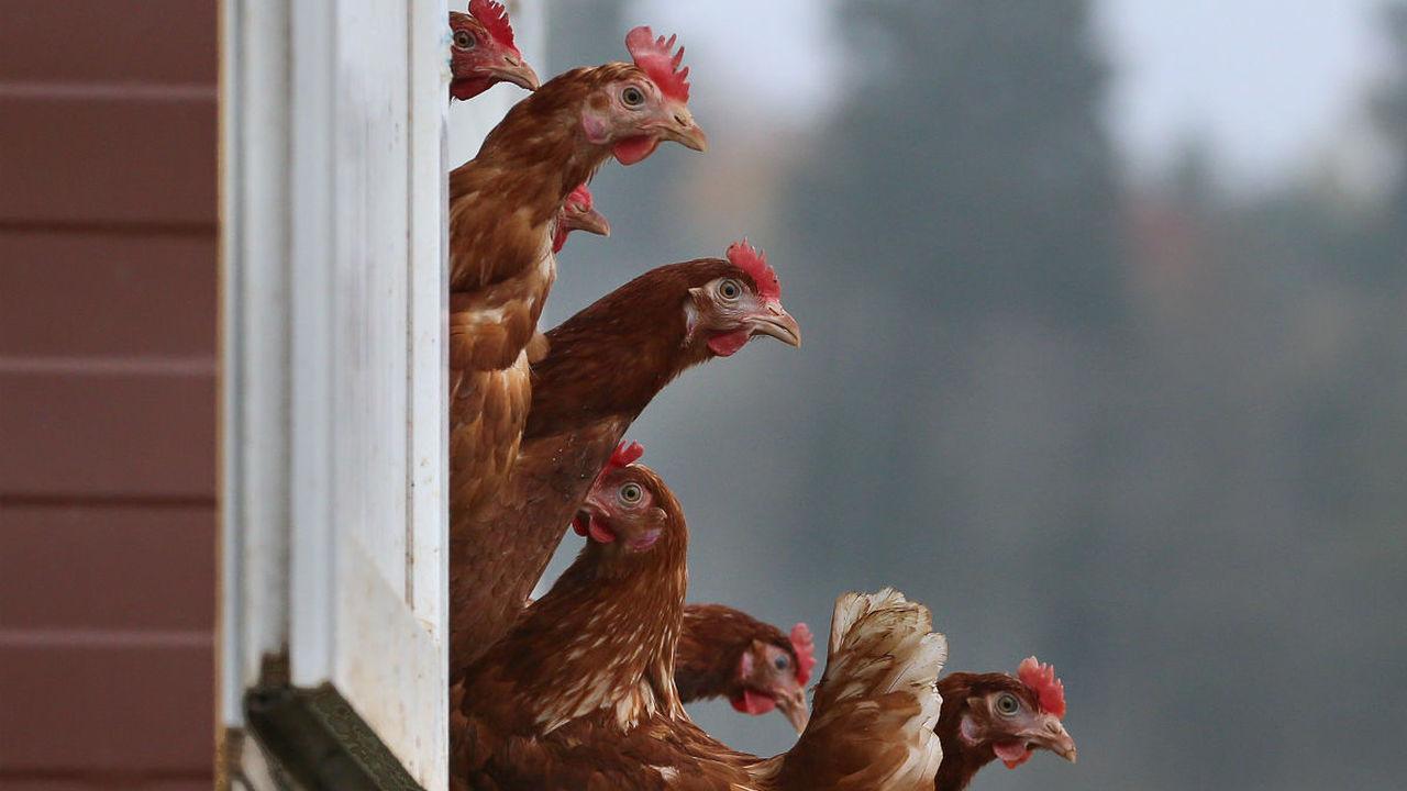 Планета цыплят: учёные назвали главный символ современной эпохи