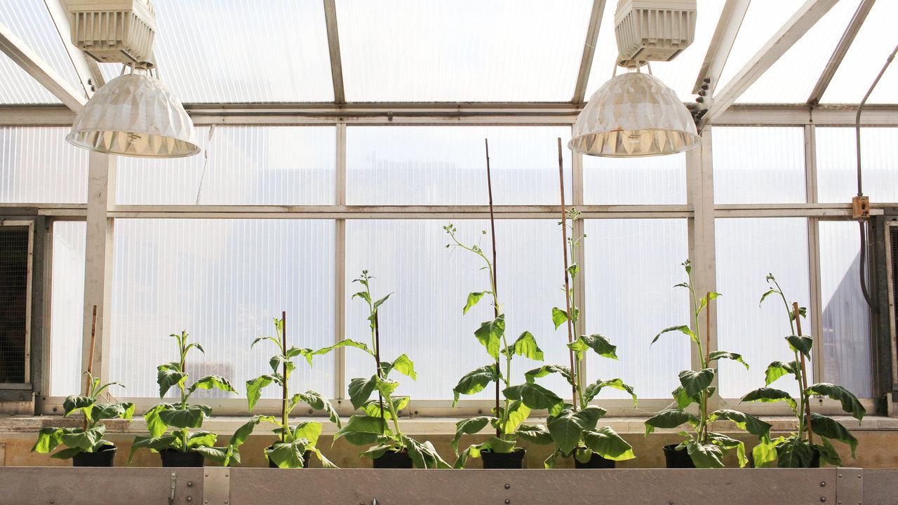 """Учёные """"взломали"""" фотосинтез растений, чтобы повысить их урожайность на 40%"""