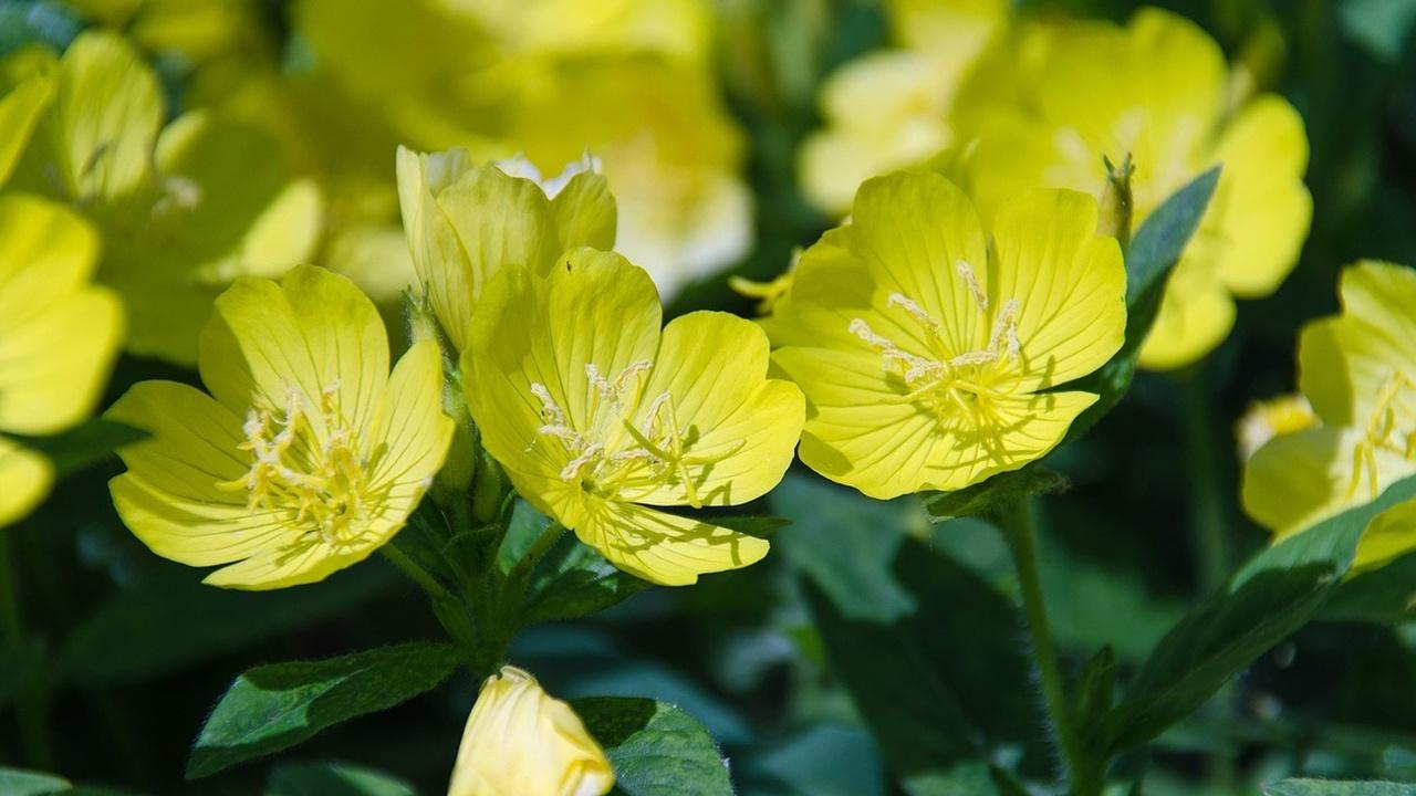 """Растения """"слышат"""" приближение опылителей и готовят для них более сладкий нектар"""