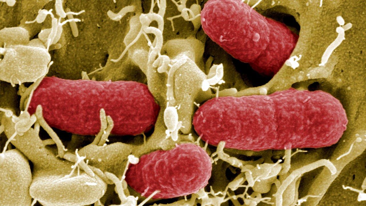 """Бактерии пожертвовали собой ради защиты """"друзей"""" от антибиотиков"""