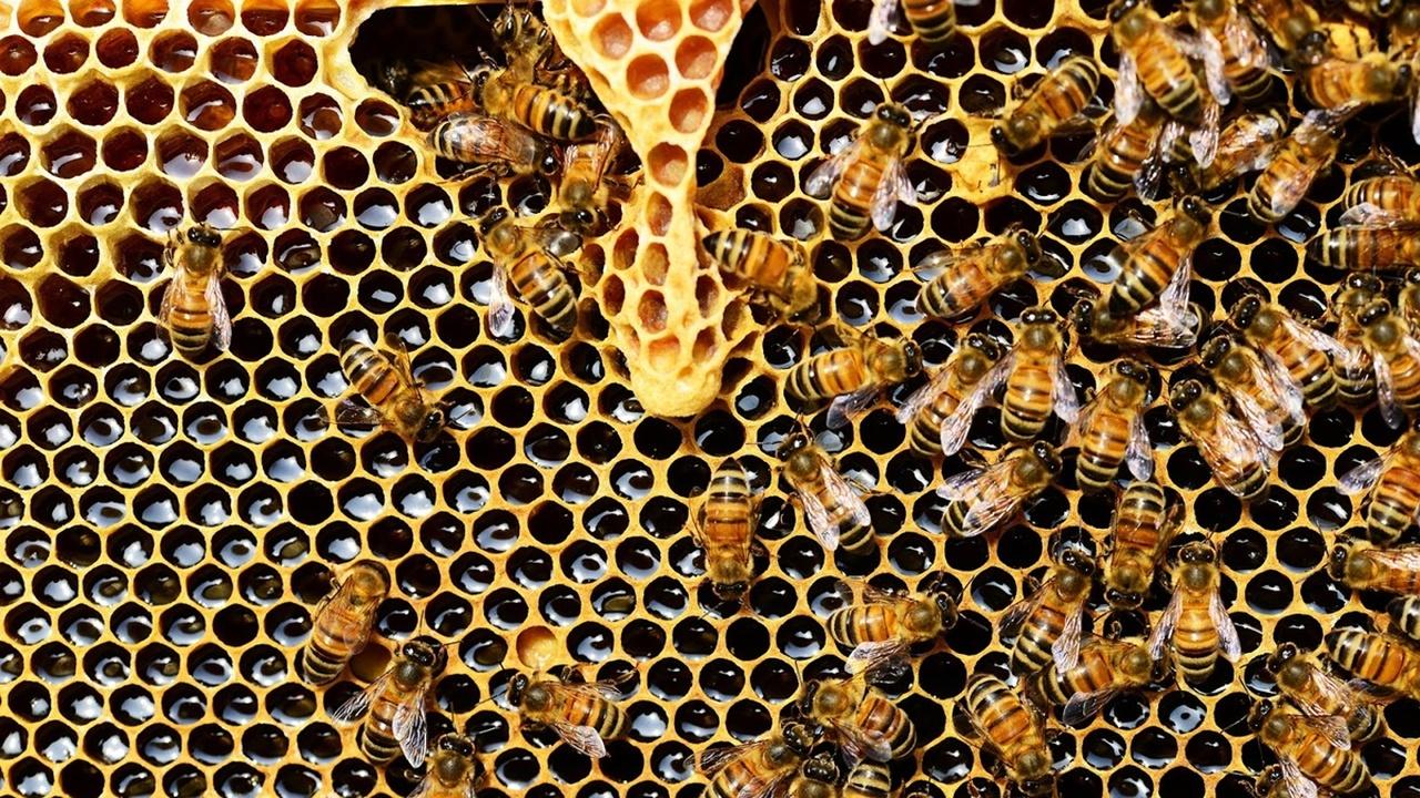 """""""Гены чистоплотности"""" помогают пчёлам поддерживать социальный иммунитет колонии"""